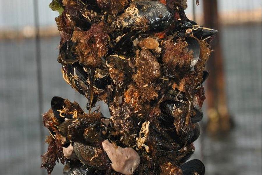 Moules de la lagune de Thau