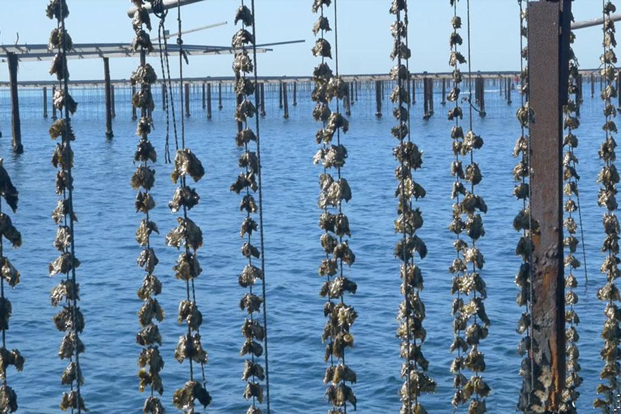 huitres sur corde au soleil