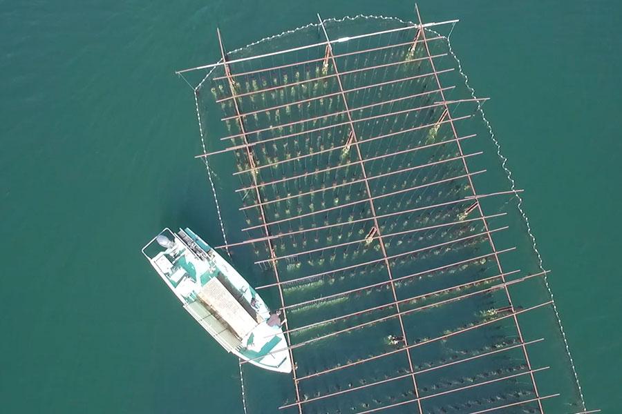 Travail en bateau des huîtres